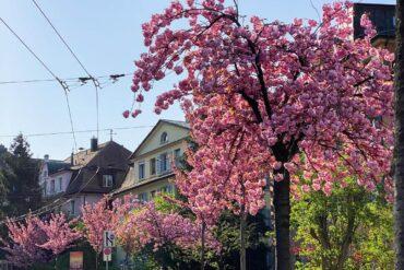 cerejeiras em zurique